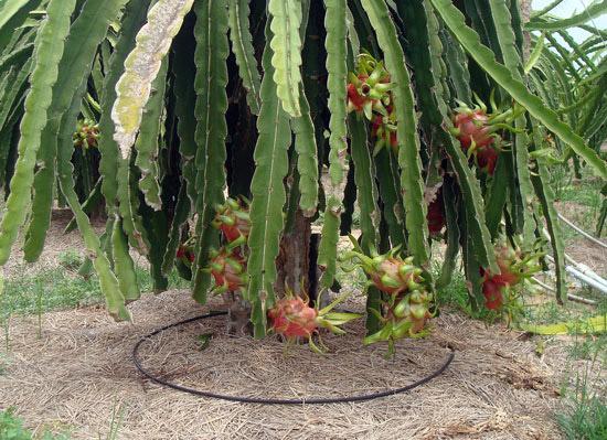 Hệ thống tưới nhỏ giọt cho gốc cây thanh long